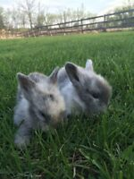 Baby Bunnies For Sale - Dwarf Size :)
