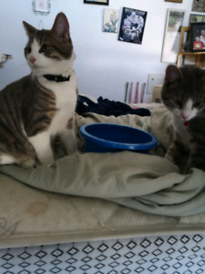 2 Male Brother Cats Looking For a Forever home!