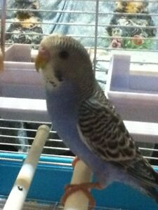 """blue budgie and cage L14"""" xW11"""" xH16"""""""
