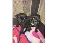 Beautiful black pug puppies