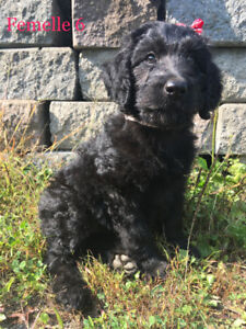 Labradoodle F1 *chiots*