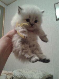 Gorgeous Ragdoll/Persian/Himalayan kittens