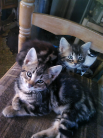 3 fluffy Tabby kitten 8 week Dog friendly
