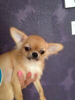 Petit mâle chihuahua enregistré ccc poil long qualité +++