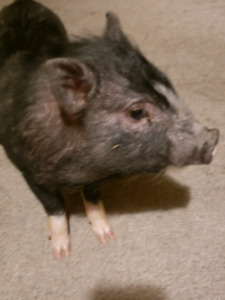 Male pot bellied pig for sale.