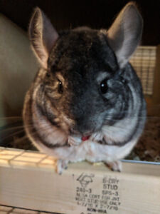 Selling Chinchillas from Kit to Adult