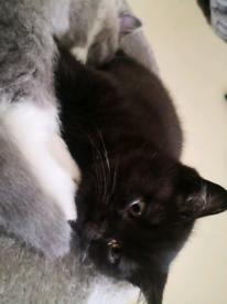 British short hair Chocolate male kitten