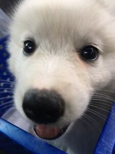 Pure American Eskimo female puppy