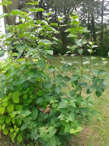 Plantes vivaces matures