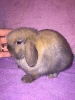 Holland Lop Babies
