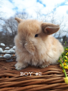 Purebred Holland Lop Babies only 2 Left!