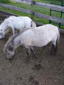 Unreg miniature horses for sale