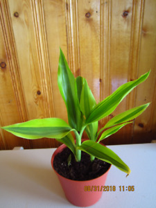 Dracaena Fragrans - (Corn Plant) - Air Purifier
