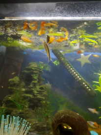 Guppy and other fish