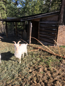 Goats, Rabbits, turkey for sale. make an offer