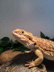 2 bearded dragons with housing Strathcona County Edmonton Area image 2