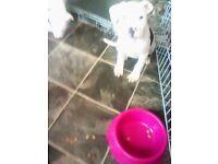 american bulldog x staffy - females