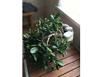 Large money tree for sale