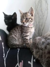 1 female tabby kitten