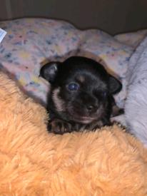 Shih tzu cross Chihuahua