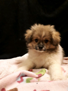 Little Ewoks! Pomeranian mixed Pekingese