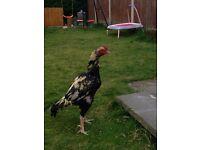 Beautiful male Aseel chicken!!!