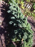 Fresh Kale for sale