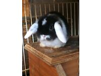 Stunning mini lop baby bunnies