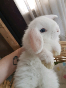 ADORABLE Baby HOLLAND LOP Bunny Rabbits READY for Easter!