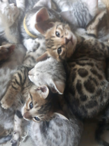 Exotic Bengal kittens ready for pick up