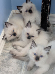 Purebred registrated kittens- Ready to go ! !