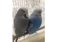 Exabition budgie pair for sale