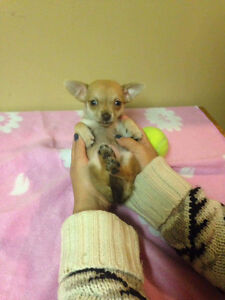 Holiday Special! Chihuahua Puppies! Sale Price Downtown-West End Greater Vancouver Area image 9