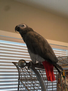 3 year old African Grey with cage