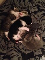 Four kittens ready before Christmas