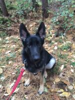 King German Shepherd to go to a great home