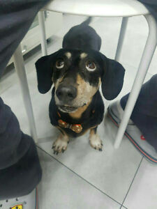 Very cute dachshund available for adoption!