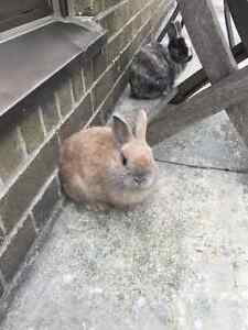 free Two Netherland dwarf bunnies - male and female 8 & 10 m