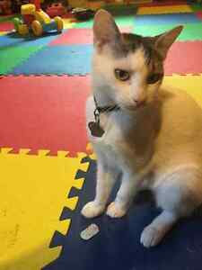 Female 1 year old cat looking for forever home Kitchener / Waterloo Kitchener Area image 1