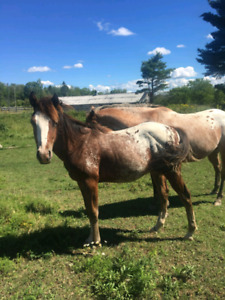 Appaloosa stud colt for sale, two available