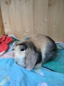 Two Mini Lops for sale