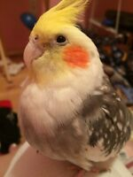 Make cockatiel and Male budgie