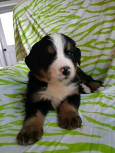 Older Bernese Mountain Dog Female | Dogs & Puppies for Rehoming