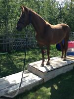 Very nice looking Chestnut 6 year old Morgan Mare.