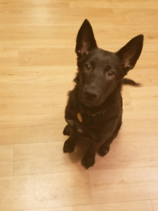 8 month male German Shepherd/Black Lab mix