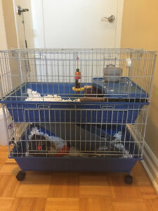 Two Adorable Guinea Pig Brothers and Cage/Supplies for Sale