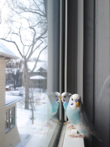 Young budgies- Barb and Ghost