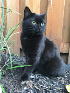 LOST BLACK SHORT HAIRED DOMESTIC CAT