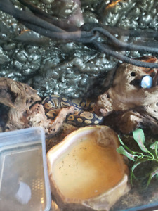Ball python snake and enclosure
