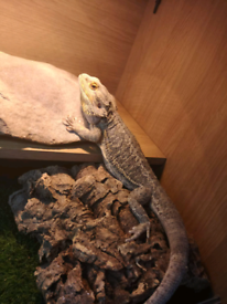 And england | Reptiles For Sale - Gumtree